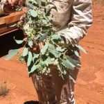 Eucalyptus intertexta (Coolibah) buds and flowers