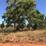 Eucalyptus intertexta  Gum barked Coolibah Western Red Box Gum Coolibah